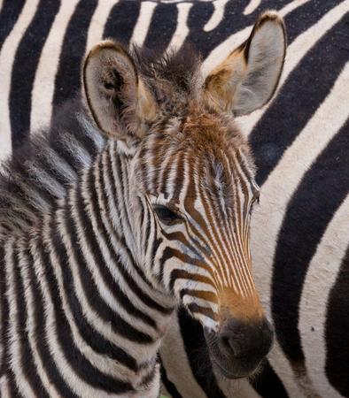 maasai mara: Portrait of a zebra. Close-up. Kenya. Tanzania. National Park. Serengeti. Maasai Mara. An excellent illustration.