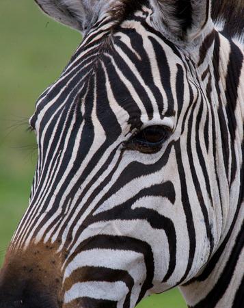 turismo ecologico: Retrato de una cebra. De cerca. Kenia. Tanzania. Parque Nacional. Serengeti. Masai Mara. Una excelente ilustración.