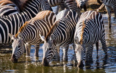 Group of zebras drinking water from the river. Kenya. Tanzania. National Park. Serengeti. Maasai Mara. An excellent illustration.