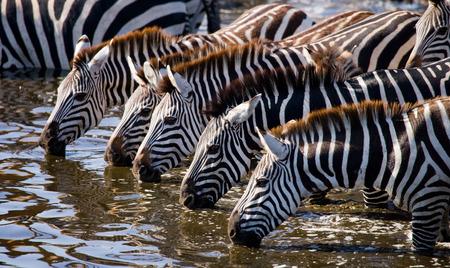 maasai mara: Group of zebras drinking water from the river. Kenya. Tanzania. National Park. Serengeti. Maasai Mara. An excellent illustration.