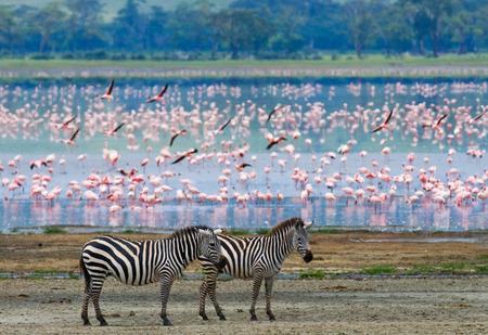 背景のフラミンゴ 2 つのシマウマ。ケニア。タンザニア。国立公園。セレンゲティ。マサイマラ。優秀なイラスト。