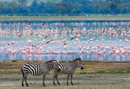 플라밍고 백그라운드에서 두 얼룩말입니다. 케냐. 탄자니아. 국립 공원. 세렝게티. 마사이 마라. 훌륭한 그림. 스톡 콘텐츠