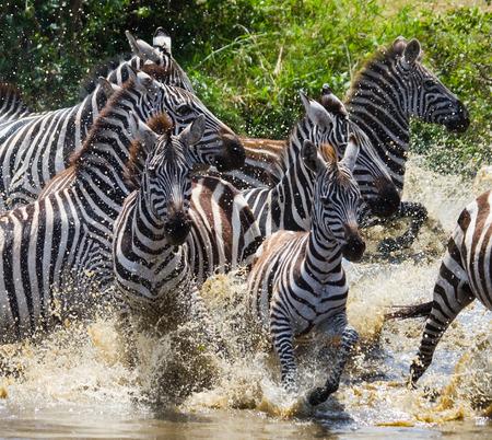 turismo ecologico: Group of zebras running across the water. Kenya. Tanzania. National Park. Serengeti. Maasai Mara. An excellent illustration.