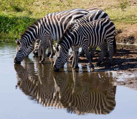 hoofed: Group of zebras drinking water from the river. Kenya. Tanzania. National Park. Serengeti. Maasai Mara. An excellent illustration.