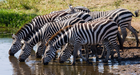 turismo ecologico: Group of zebras drinking water from the river. Kenya. Tanzania. National Park. Serengeti. Maasai Mara. An excellent illustration.