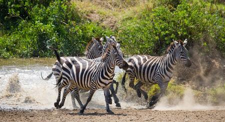 turismo ecologico: Grupo de cebras que se ejecutan a través del agua. Kenia. Tanzania. Parque Nacional. Serengeti. Masai Mara. Una excelente ilustración. Foto de archivo