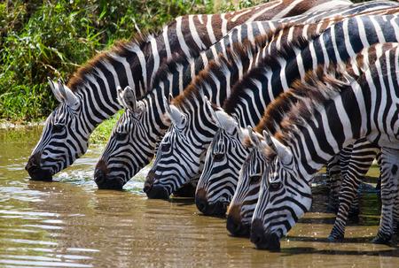 Groep van zebra's drinkwater uit de rivier. Kenia. Tanzania. Nationaal Park. Serengeti. Maasai Mara. Een uitstekende illustratie.