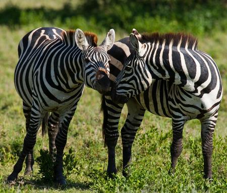 maasai mara: Portrait of two zebras. Kenya. Tanzania. National Park. Serengeti. Maasai Mara. An excellent illustration.