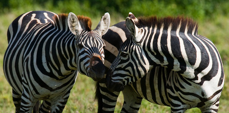 Portrait of two zebras. Kenya. Tanzania. National Park. Serengeti. Maasai Mara. An excellent illustration.