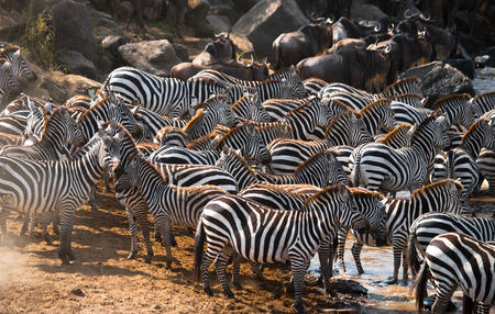 maasai mara: Big herd of zebras standing in front of the river. Kenya. Tanzania. National Park. Serengeti. Maasai Mara. An excellent illustration. Stock Photo