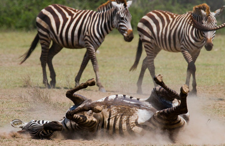 turismo ecologico: Cebra tumbado un polvo. Kenia. Tanzania. Parque Nacional. Serengeti. Masai Mara. Una excelente ilustración.