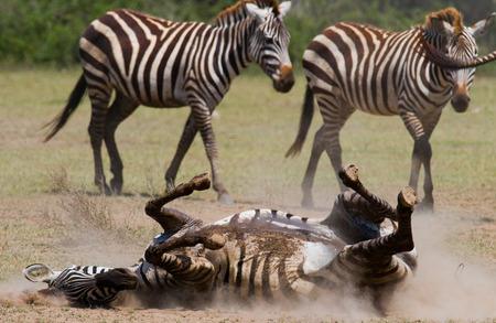 maasai mara: Zebra lying a dust. Kenya. Tanzania. National Park. Serengeti. Maasai Mara. An excellent illustration. Stock Photo
