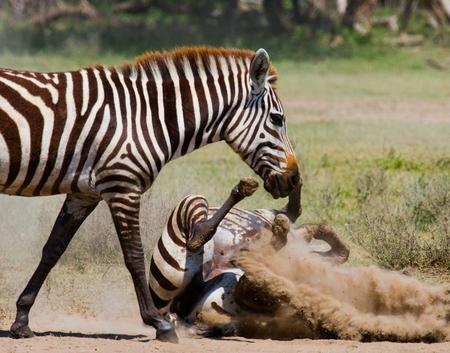 turismo ecologico: Zebra lying a dust. Kenya. Tanzania. National Park. Serengeti. Maasai Mara. An excellent illustration. Foto de archivo