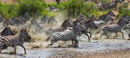 ecological tourism: Group of zebras running across the water. Kenya. Tanzania. National Park. Serengeti. Maasai Mara. An excellent illustration.