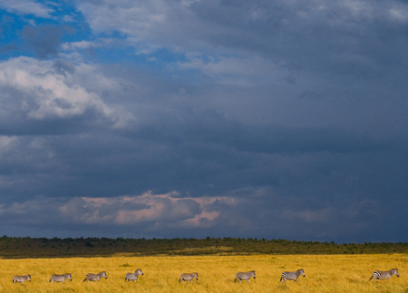 ecological tourism: Zebras are following each other in the savannah. Kenya. Tanzania. National Park. Serengeti. Maasai Mara. An excellent illustration. Foto de archivo