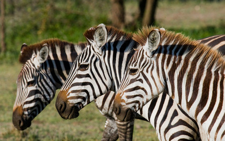 ecological tourism: Three zebras stand together. Kenya. Tanzania. National Park. Serengeti. Maasai Mara. An excellent illustration.