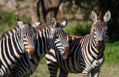 turismo ecologico: Three zebras stand together. Kenya. Tanzania. National Park. Serengeti. Maasai Mara. An excellent illustration.