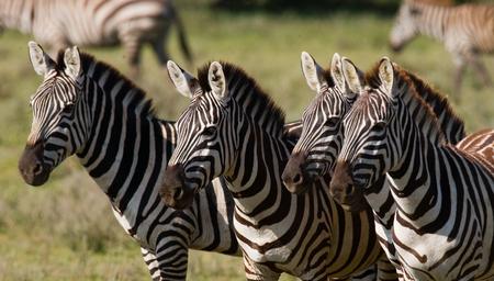 turismo ecologico: Grupo de cebras en la sabana. Kenia. Tanzania. Parque Nacional. Serengeti. Masai Mara. Una excelente ilustración.