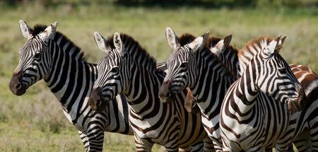 얼룩말에서 사바나의 그룹입니다. 케냐. 탄자니아. 국립 공원. 세렝게티. 마사이 마라. 훌륭한 그림.