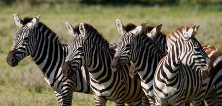 Group of zebras in the savannah. Kenya. Tanzania. National Park. Serengeti. Maasai Mara. An excellent illustration.