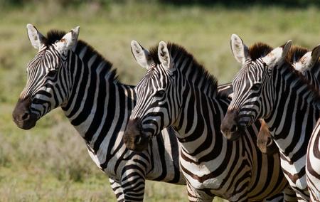 turismo ecologico: Tres cebras están juntos. Kenia. Tanzania. Parque Nacional. Serengeti. Masai Mara. Una excelente ilustración.