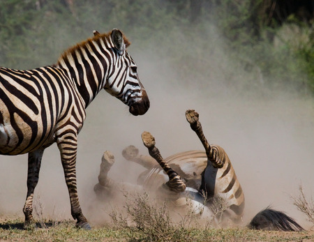 Zebra lying a dust. Kenya. Tanzania. National Park. Serengeti. Maasai Mara. An excellent illustration. Stock Photo