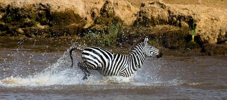 turismo ecologico: Zebra crossing a river. Kenya. Tanzania. National Park. Serengeti. Maasai Mara. An excellent illustration.