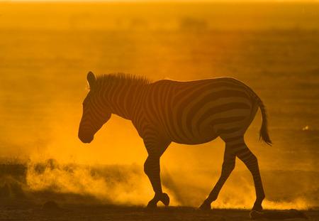 turismo ecologico: Zebra in the dust against the setting sun. Kenya. Tanzania. National Park. Serengeti. Maasai Mara. An excellent illustration.