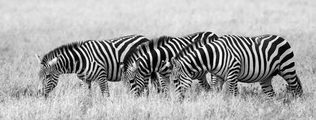 turismo ecologico: Group of zebras in the savannah. Kenya. Tanzania. National Park. Serengeti. Maasai Mara. An excellent illustration.