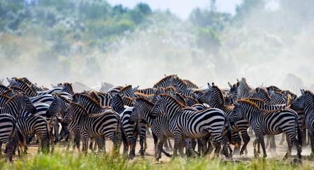 maasai mara: Group of zebras in the savannah. Kenya. Tanzania. National Park. Serengeti. Maasai Mara. An excellent illustration.