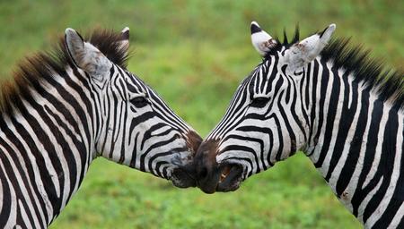 turismo ecologico: Portrait of two zebras. Kenya. Tanzania. National Park. Serengeti. Maasai Mara. An excellent illustration.