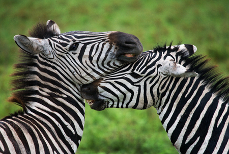 ecological tourism: Portrait of two zebras. Kenya. Tanzania. National Park. Serengeti. Maasai Mara. An excellent illustration.