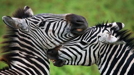 Portrait of two zebras. Kenya. Tanzania. National Park. Serengeti. Maasai Mara. An excellent illustration.