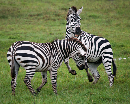 ecological tourism: Two zebras playing with each other. Kenya. Tanzania. National Park. Serengeti. Maasai Mara. An excellent illustration.