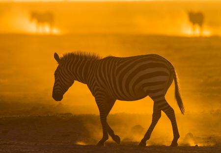turismo ecologico: Cebra en el polvo contra el sol poniente. Kenia. Tanzania. Parque Nacional. Serengeti. Masai Mara. Una excelente ilustración. Foto de archivo