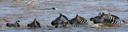 ecological tourism: Group zebra crossing the river Mara. Kenya. Tanzania. National Park. Serengeti. Maasai Mara. An excellent illustration.