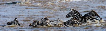 turismo ecologico: Group zebra crossing the river Mara. Kenya. Tanzania. National Park. Serengeti. Maasai Mara. An excellent illustration.