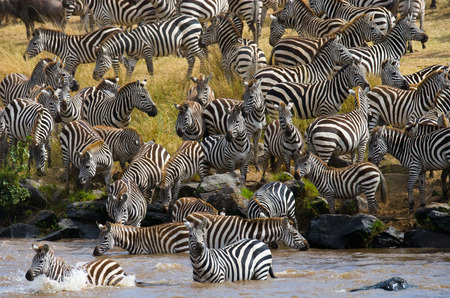 ecological tourism: Big herd of zebras standing in front of the river. Kenya. Tanzania. National Park. Serengeti. Maasai Mara. An excellent illustration. Foto de archivo