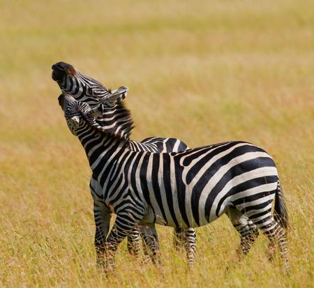 maasai mara: Two zebras in the savanna. Kenya. Tanzania. National Park. Serengeti. Maasai Mara. An excellent illustration.