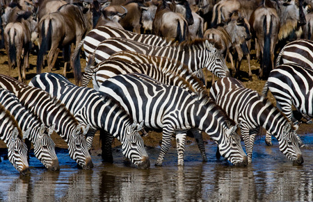 ecological tourism: Group of zebras drinking water from the river. Kenya. Tanzania. National Park. Serengeti. Maasai Mara. An excellent illustration.