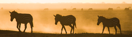 Zebras in the dust against the setting sun. Kenya. Tanzania. National Park. Serengeti. Maasai Mara. An excellent illustration. Stock Photo