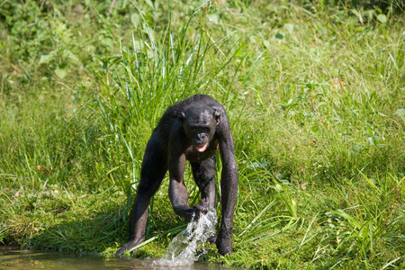 Bonobo stands at the edge of the pond. Democratic Republic of Congo. Lola Ya BONOBO National Park. An excellent illustration.