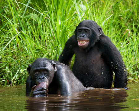 primates: Two Bonobos make love with each other. Democratic Republic of Congo. Lola Ya BONOBO National Park. An excellent illustration.