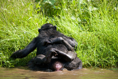 hacer el amor: Two Bonobos make love with each other. Democratic Republic of Congo. Lola Ya BONOBO National Park. An excellent illustration.