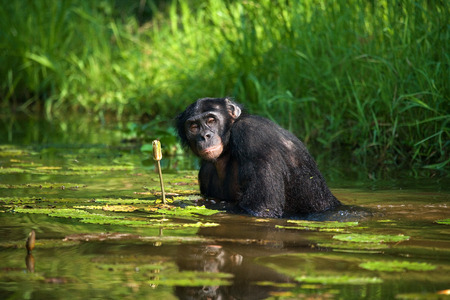 Bonobo sits at the pond. Democratic Republic of Congo. Lola Ya BONOBO National Park. An excellent illustration.
