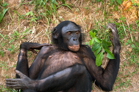Bonobos lying on the ground. Democratic Republic of Congo. Lola Ya BONOBO National Park. An excellent illustration.