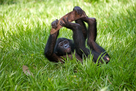 bonobo: Baby of Bonobo lying on the grass. Democratic Republic of Congo. Lola Ya BONOBO National Park. An excellent illustration.