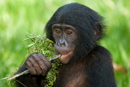 A baby Bonobo sits in the grass. Democratic Republic of Congo. Lola Ya BONOBO National Park. An excellent illustration.