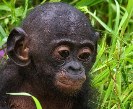 heritage protection: Portrait of a baby bonobo. Democratic Republic of Congo. Lola Ya BONOBO National Park. An excellent illustration.