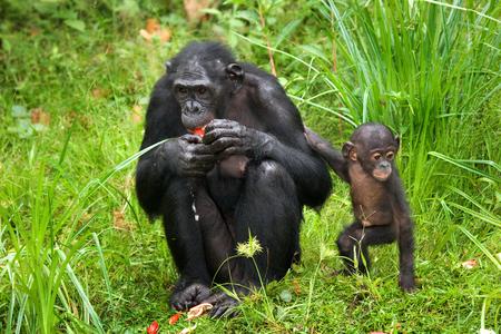 Female bonobo with a baby. Democratic Republic of Congo. Lola Ya BONOBO National Park. An excellent illustration.